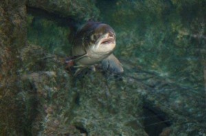 Fundación Naturaleza y Hombre salmon-atlantico