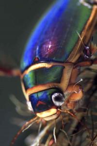 DITYSCUS57fundación naturaleza y hombre FNYH Entomología fotos Insectos