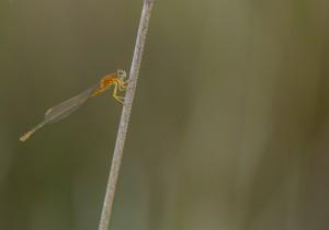 fotografía Libélula_fundación naturaleza y hombre FNYH Entomología fotos Insectos