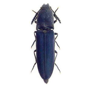 LIMONISCUS-fundación naturaleza y hombre FNYH Entomología fotos Insectos