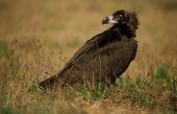 abutre preto