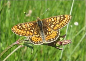 euphydryas-fundación naturaleza y hombre FNYH Entomología fotos Insectos