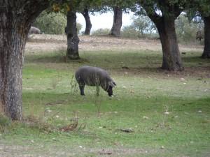 cerdo-en-montanera