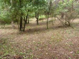 desbroce-de-vegetacion-competidora-en-el-interior-del-monte-de-somo