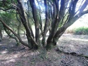 encina-cantabrica-quercus-ilex-en-el-interior-del-monte-de-somo