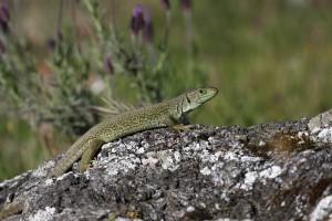 lagarto-ocelado-foto-de-jose-a-hernandez