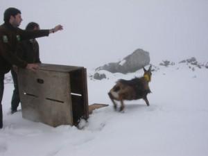 Liberación de rebeco cantábrico en el LIC Montaña Oriental