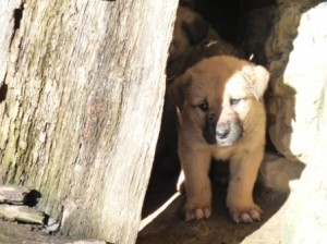 Cachorro de mastín español, raza encargada de la protección del ganado
