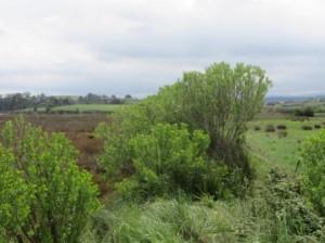 Chilca (Baccharis halimifolia) que ha colonizado las márgenes de la Ría de Cubas