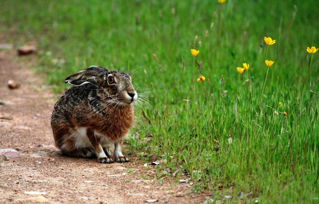 11.Conejo