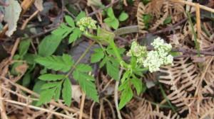 Chraerofillum hirsutum