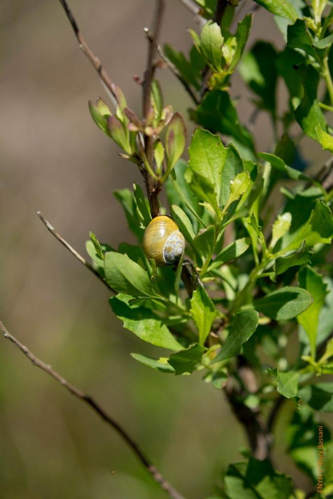 Baccharis halimifolia en la Isla de Santa Marina (LIFE Miera)