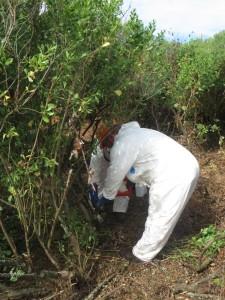 Operarios aplicando herbicida mediante apósitos