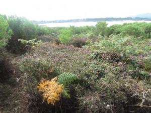 Oasis de Erica vagans en el desierto de plantas invasoras