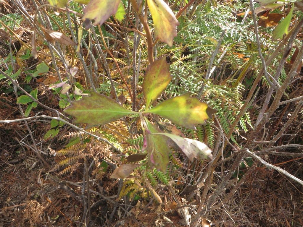 Contraste entre chilca (Baccharis halimifolia) tratada y chilca sin tratar
