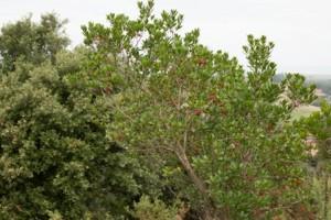 El madroño (arbutus unedo) es una especie habitual de los encinares cantábricos.