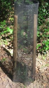 Protección individual de tejo (Taxus baccata) en Campoo de Yuso.
