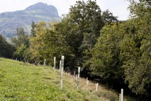 Reforestación para ampliación de la ribera en el Miera