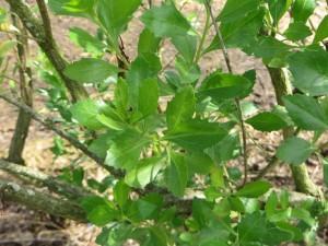 Detalle de hojas de chilca (Baccharis halimifolia)