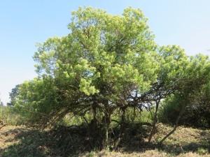 Ejemplar adulto de chilca (Baccharis halimifolia)