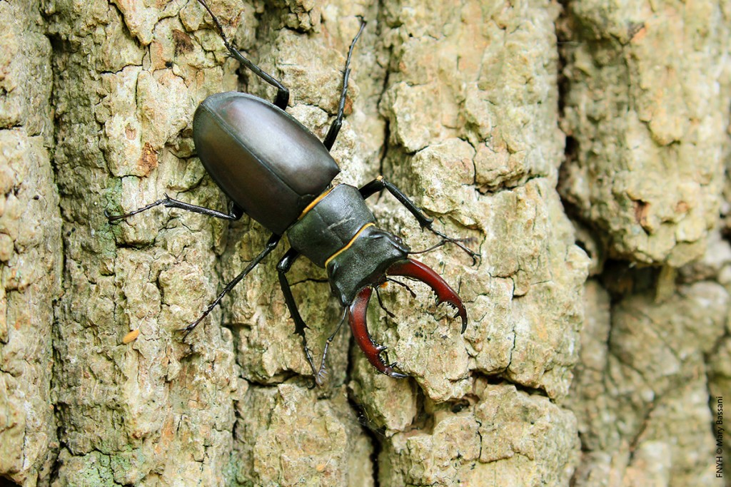 Hembra de ciervo volante (Lucanus cervus)