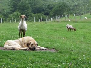 Nuestro mastín Gol y ovejas