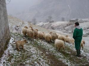 Mastín y ovejas cerca de la cabaña