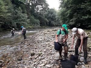 Rescate de peces previo a la obra de los pasos para salmones.