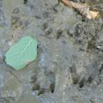 Huella de nutria (Lutra lutra)
