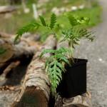 Cultivando la especie Woodwardia radicans