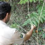 Guarda de campo identificando la especie Woodwardia radicans