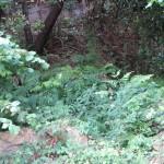 Población de Woodwardia radicans. Embarcadero de Pedreña (2)