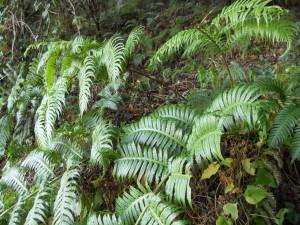 Población de Woodwardia radicans en la Cuenca del Miera