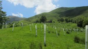 Reforestación de la montaña pasiega