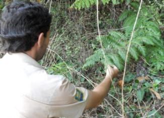 Guarda identifica la píjara o Woodwardia radicans en el Miera