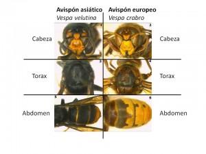 Cómo identificar al avispón asiático