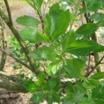 Detalle de la hoja de la chilca (Baccharis halimifolia)