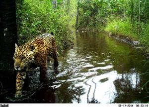 jaguar-3gigantes