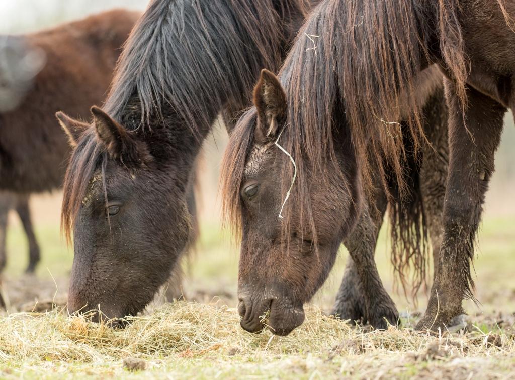 Dos caballos pastando