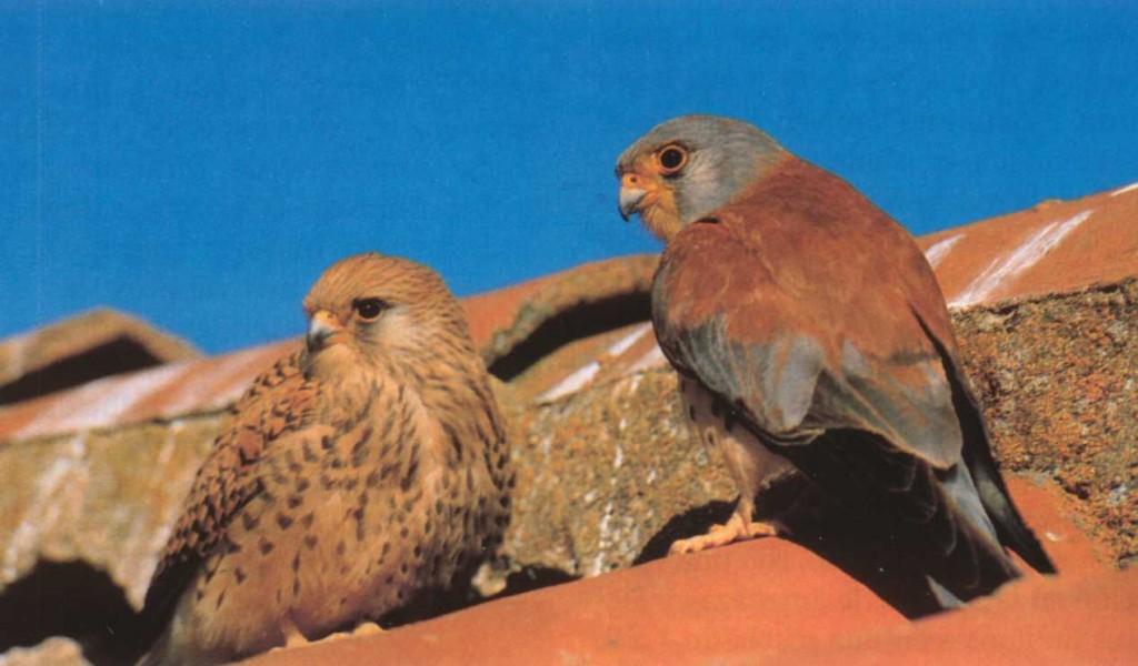 Cernicalo Primilla macho y hembra