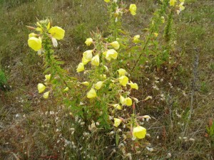 Onagra (Oenothera sp.)
