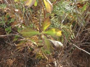 Baccharis halimifolia en proceso de eliminación