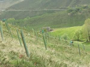 Plantación en la Montaña Pasiega.