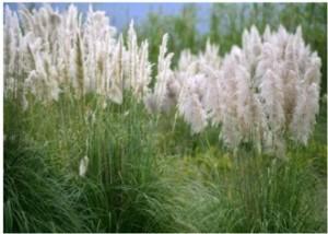 El plumero (Cortaderia selloana) es una de las plantas invasoras más perjudiciales para los ecosistemas.