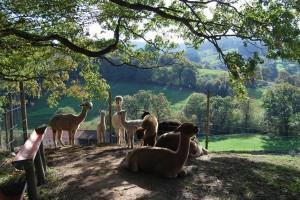 Imagen de Alpacas de la tierruca