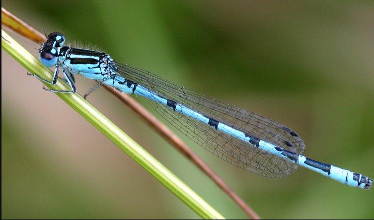 Las libélulas resultan inconfundibles por su morfología.