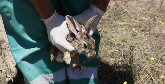 suelta de conejos de monte