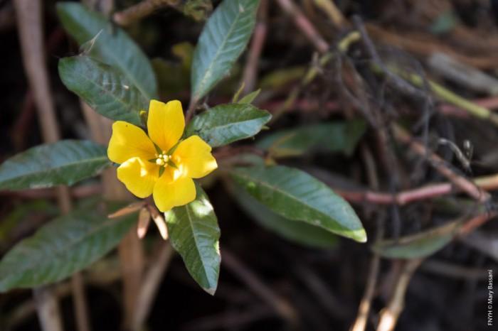 La flor amarilla de la Ludwigia peploides u onagraria.