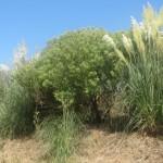Las invasoras, Baccharis halimifolia y Cortaderia selloana, en la Ría de Cubas