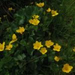 Caltha palustris (J. Goñi)